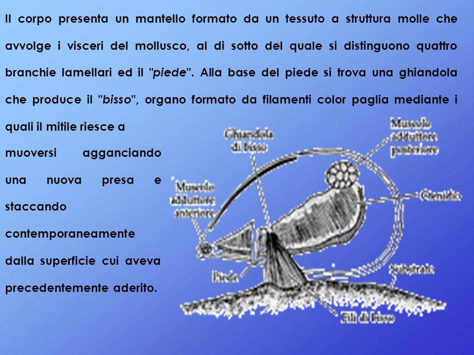 Il corpo presenta un mantello formato da un tessuto a struttura molle che avvolge i visceri del mollusco, al di sotto del quale si distinguono quattro branchie lamellari ed il piede . Alla base del piede si trova una ghiandola che produce il bisso , organo formato da filamenti color paglia mediante i quali il mitile riesce a