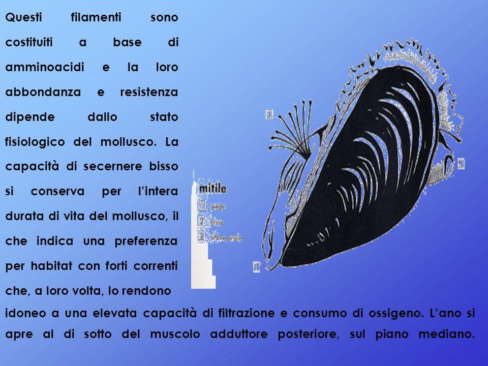 Questi filamenti sono costituiti a base di amminoacidi e la loro abbondanza e resistenza dipende dallo stato fisiologico del mollusco. La capacità di secernere bisso si conserva per l'intera durata di vita del mollusco, il che indica una preferenza per habitat con forti correnti che, a loro volta, lo rendono