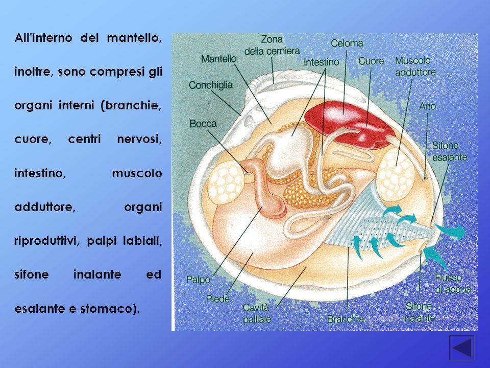 All interno del mantello, inoltre, sono compresi gli organi interni (branchie, cuore, centri nervosi, intestino, muscolo adduttore, organi riproduttivi, palpi labiali, sifone inalante ed esalante e stomaco).