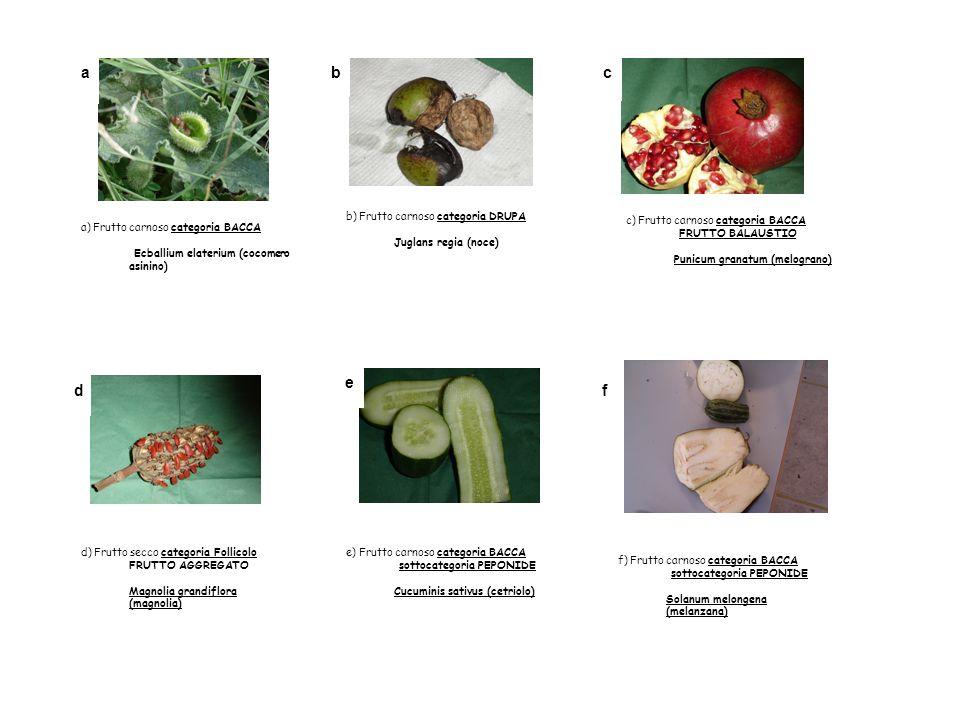 a b c e d f b) Frutto carnoso categoria DRUPA Juglans regia (noce)