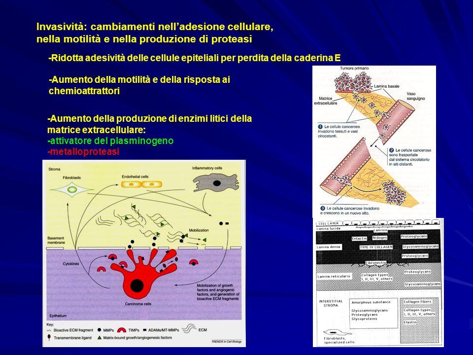 Invasività: cambiamenti nell'adesione cellulare, nella motilità e nella produzione di proteasi
