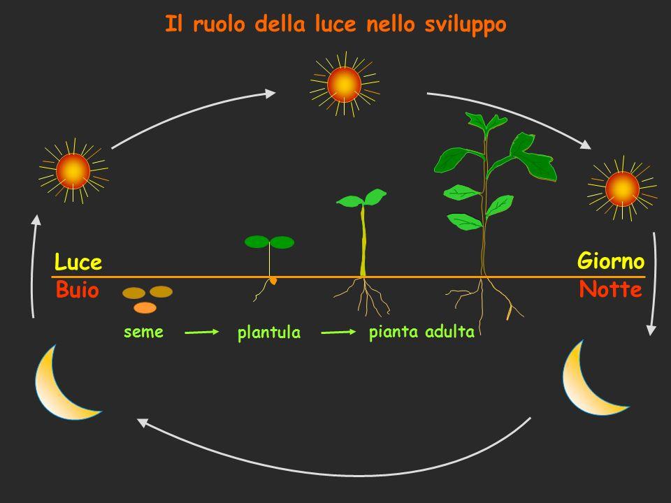 Il ruolo della luce nello sviluppo