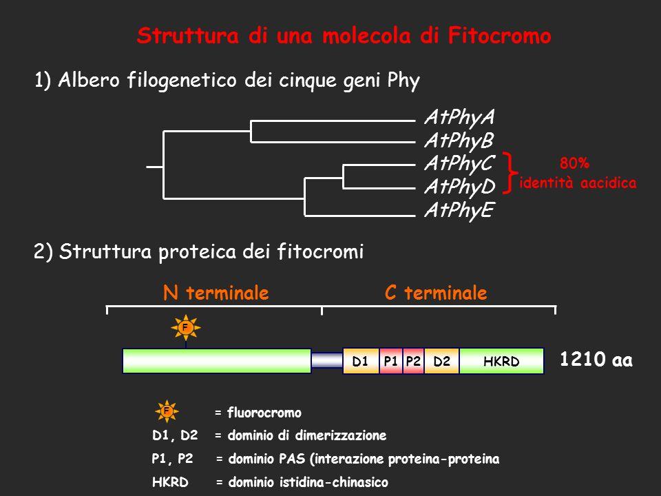 Struttura di una molecola di Fitocromo