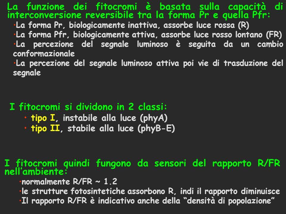 I fitocromi si dividono in 2 classi: