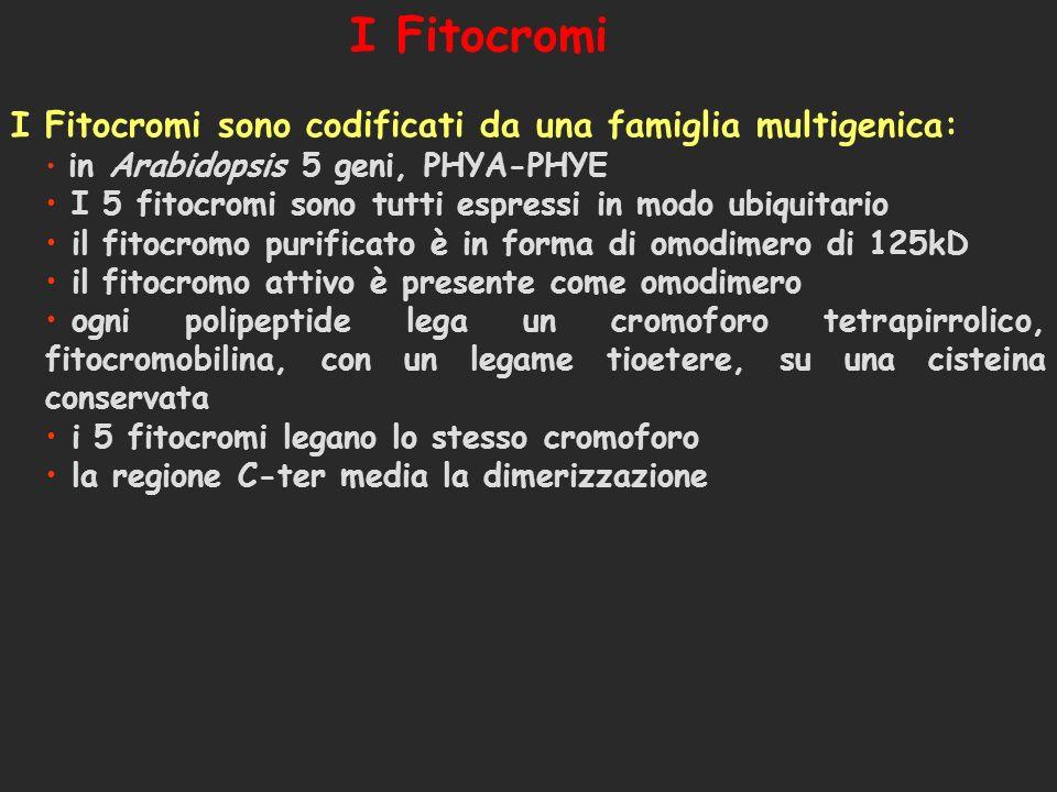 I Fitocromi I Fitocromi sono codificati da una famiglia multigenica:
