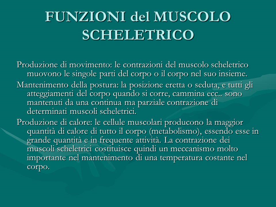 FUNZIONI del MUSCOLO SCHELETRICO