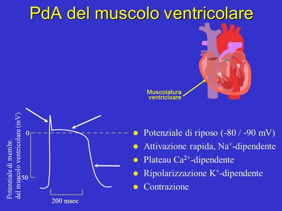 PdA del muscolo ventricolare