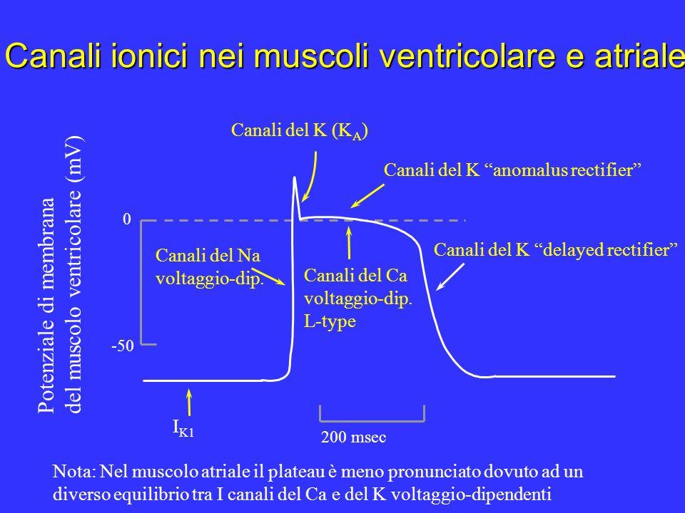 Canali ionici nei muscoli ventricolare e atriale