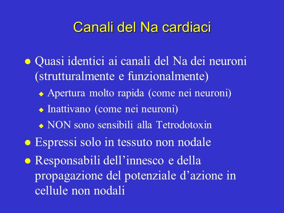Canali del Na cardiaci Quasi identici ai canali del Na dei neuroni (strutturalmente e funzionalmente)