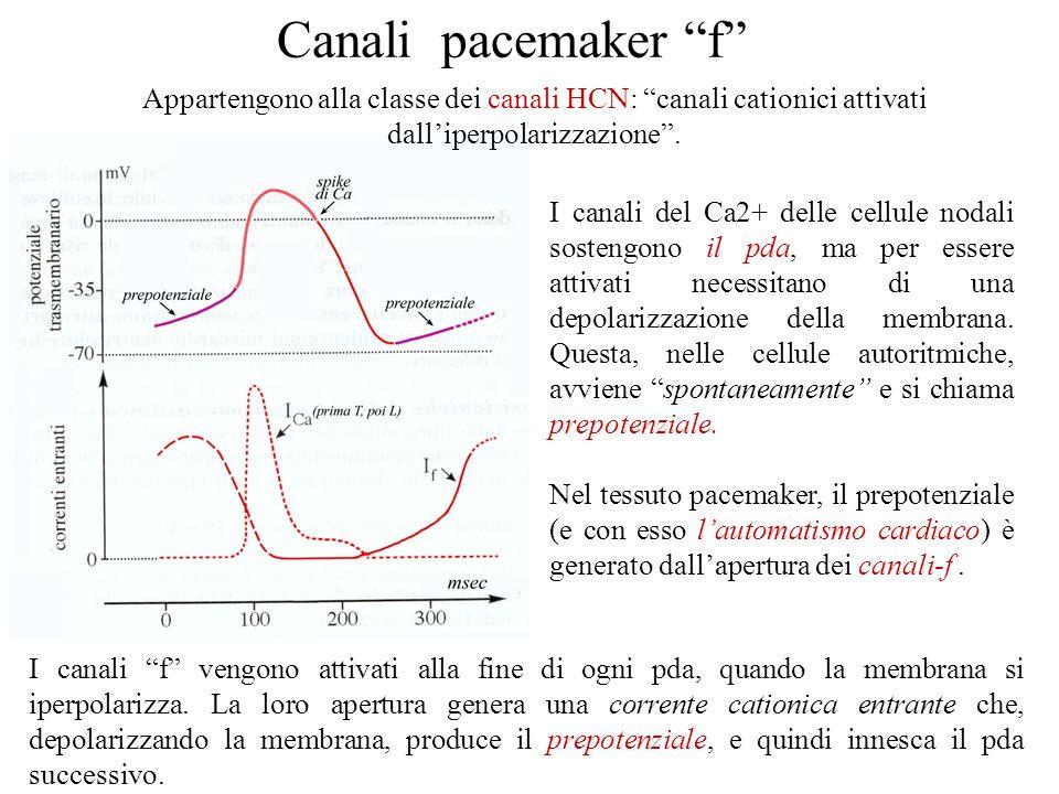Canali pacemaker f Appartengono alla classe dei canali HCN: canali cationici attivati dall'iperpolarizzazione .