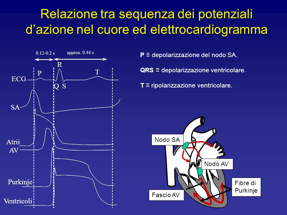 Relazione tra sequenza dei potenziali d'azione nel cuore ed elettrocardiogramma