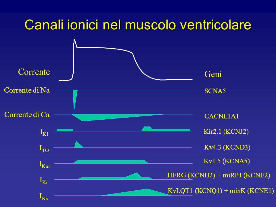 Canali ionici nel muscolo ventricolare