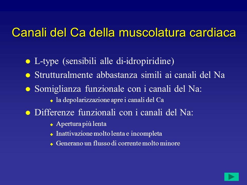 Canali del Ca della muscolatura cardiaca