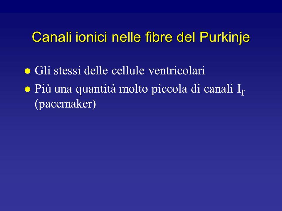 Canali ionici nelle fibre del Purkinje