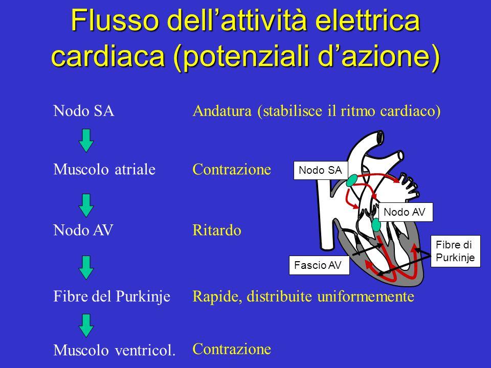 Flusso dell'attività elettrica cardiaca (potenziali d'azione)