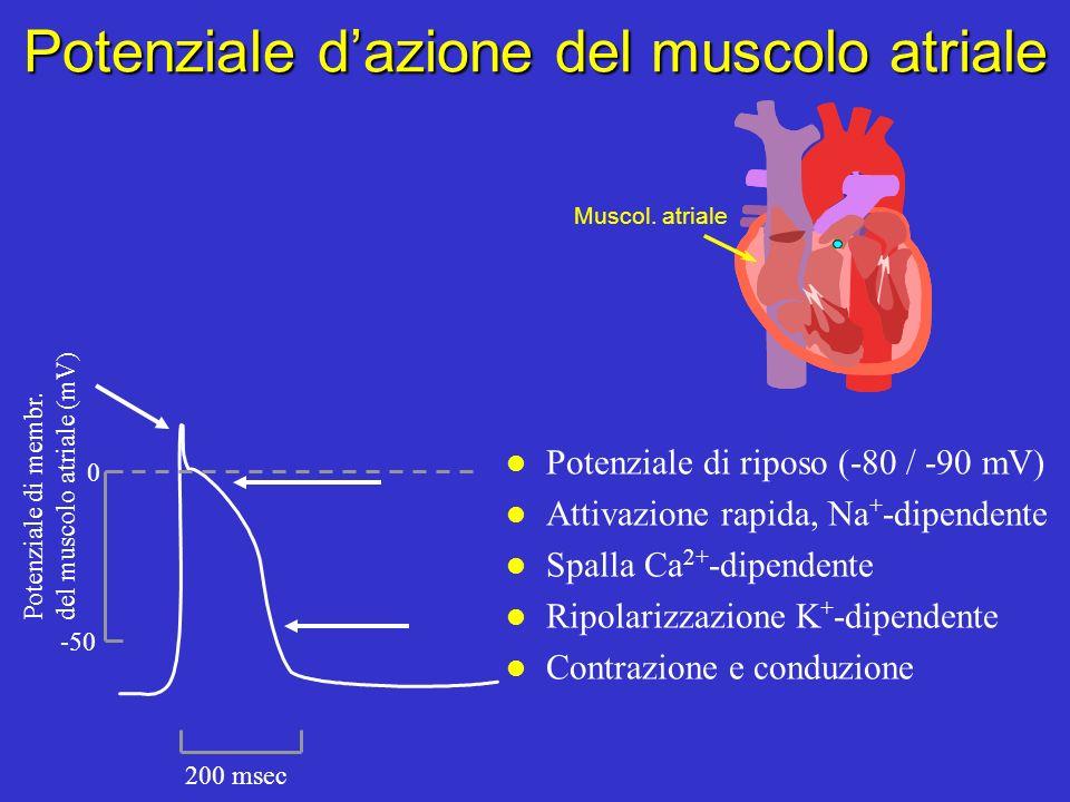 Potenziale d'azione del muscolo atriale