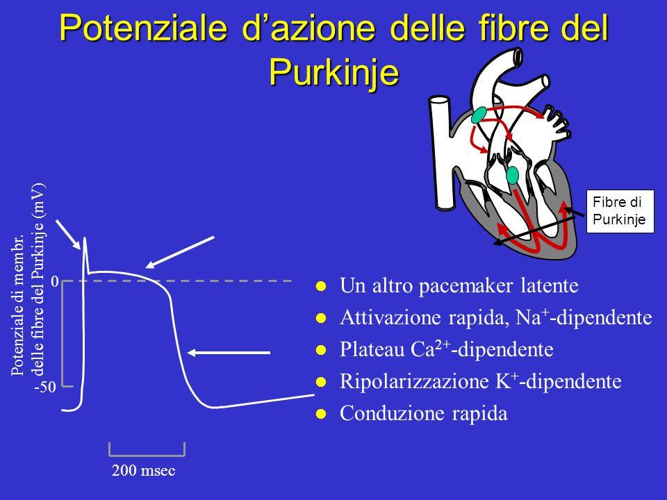 Potenziale d'azione delle fibre del Purkinje