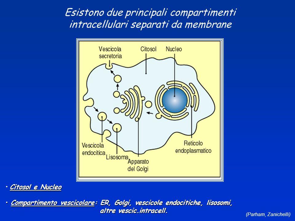 Esistono due principali compartimenti intracellulari separati da membrane