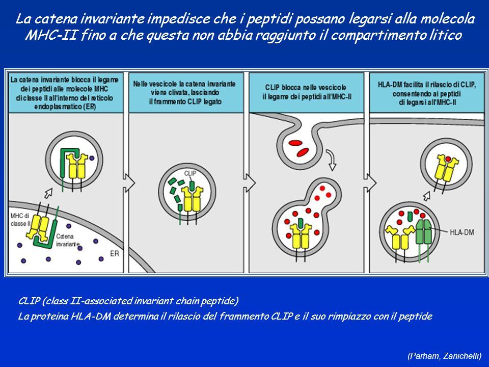 La catena invariante impedisce che i peptidi possano legarsi alla molecola MHC-II fino a che questa non abbia raggiunto il compartimento litico