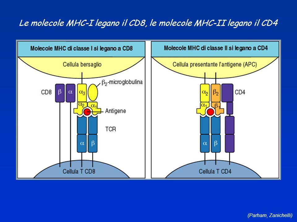 Le molecole MHC-I legano il CD8, le molecole MHC-II legano il CD4