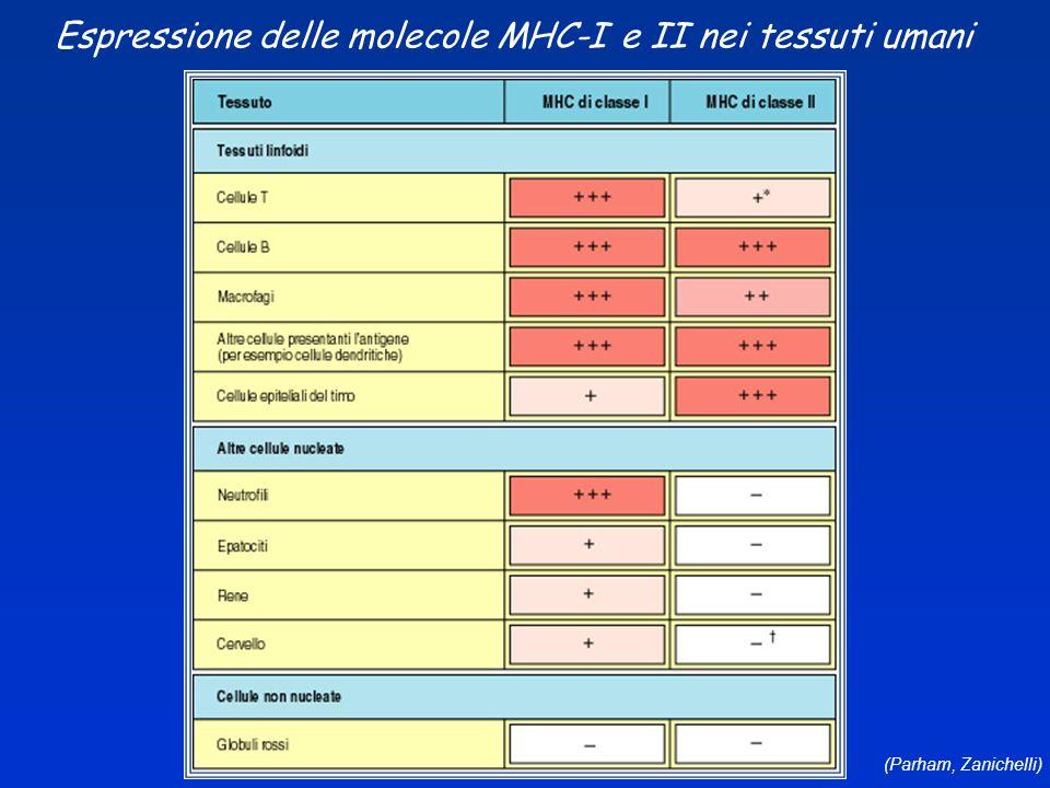 Espressione delle molecole MHC-I e II nei tessuti umani