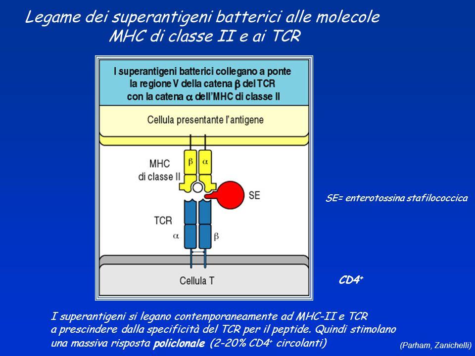 Legame dei superantigeni batterici alle molecole