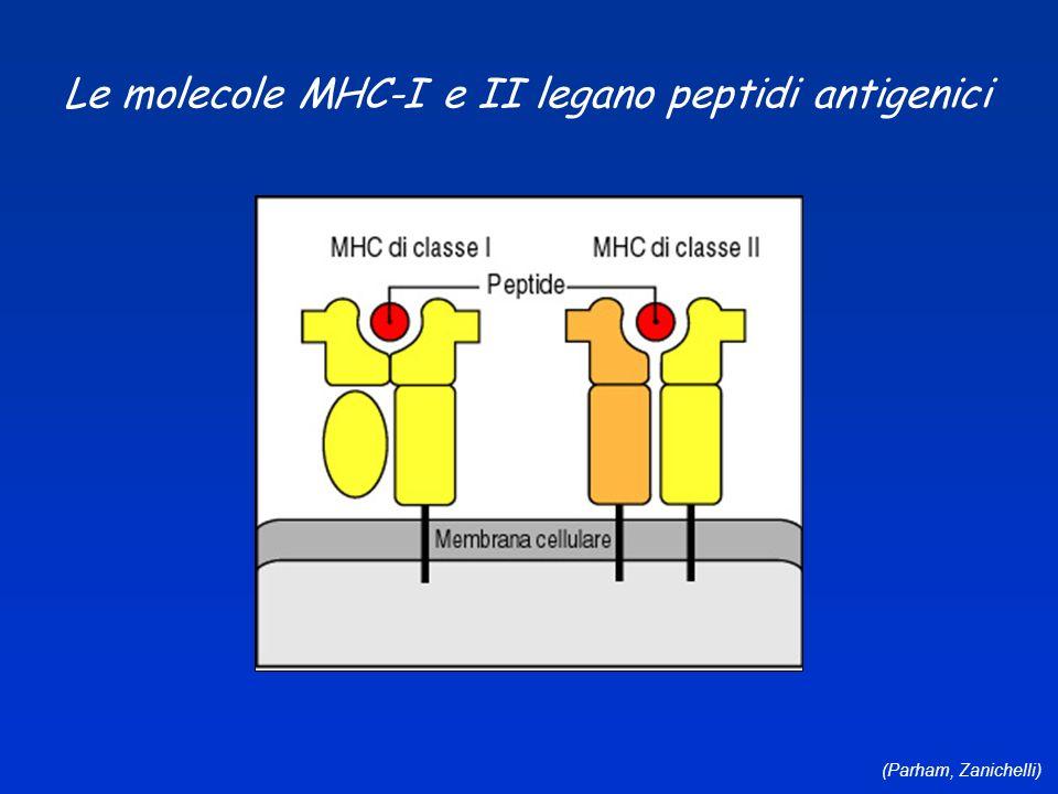 Le molecole MHC-I e II legano peptidi antigenici