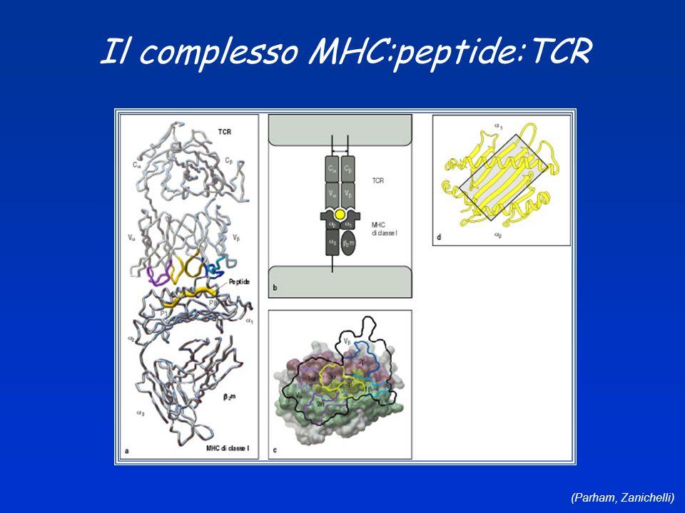 Il complesso MHC:peptide:TCR
