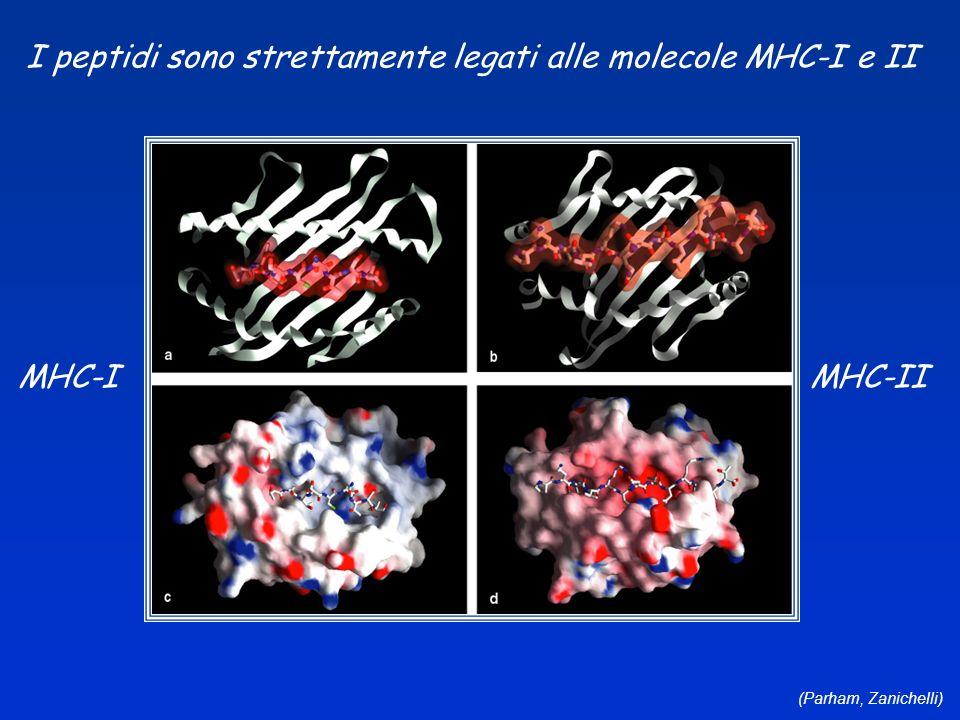I peptidi sono strettamente legati alle molecole MHC-I e II