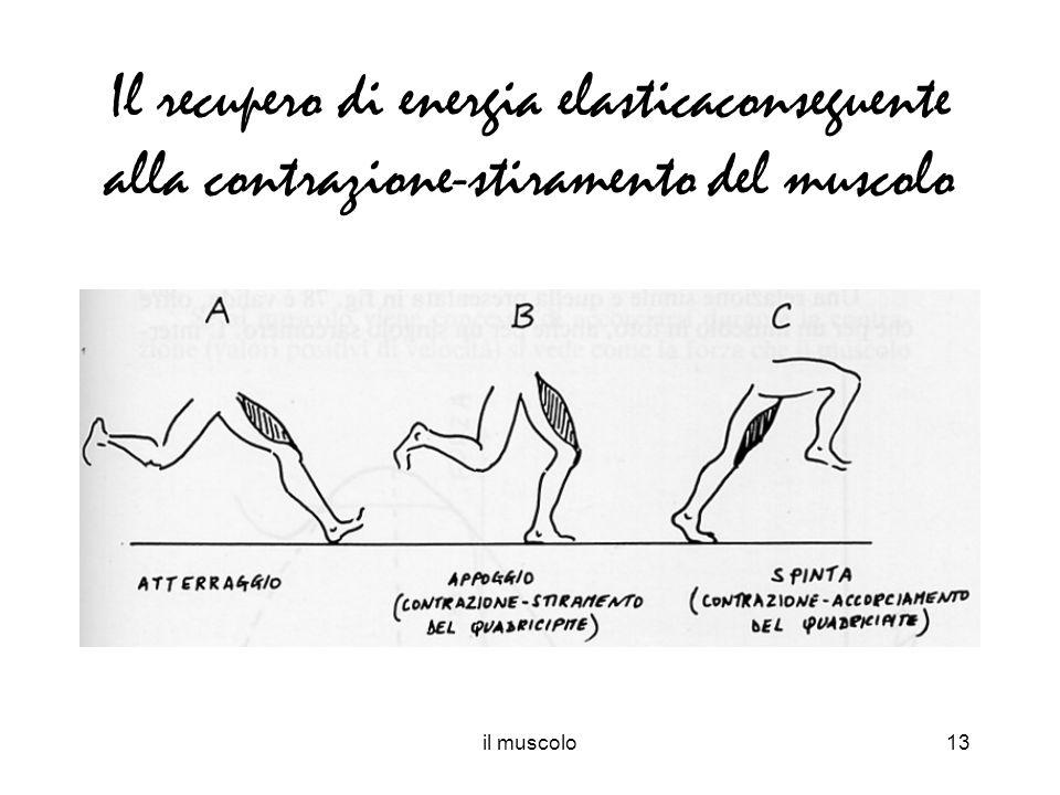 Il recupero di energia elasticaconseguente alla contrazione-stiramento del muscolo