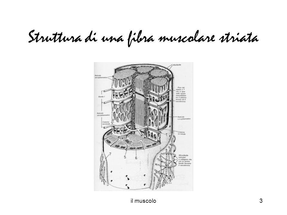 Struttura di una fibra muscolare striata