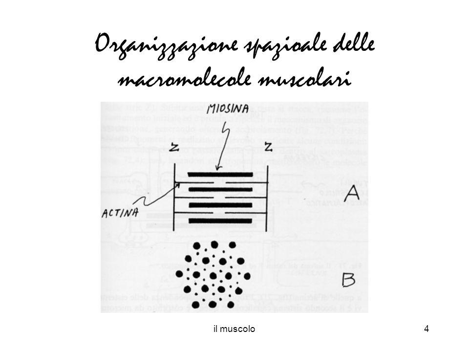 Organizzazione spazioale delle macromolecole muscolari