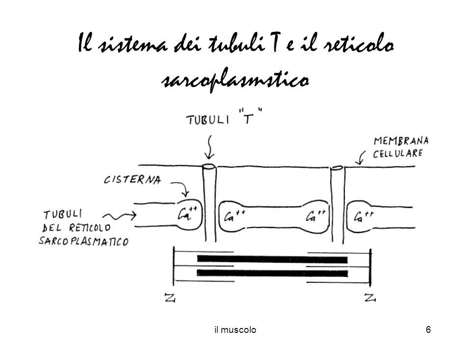 Il sistema dei tubuli T e il reticolo sarcoplasmstico
