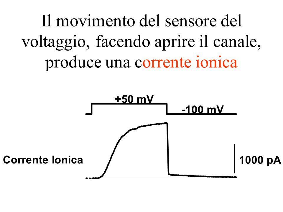 Il movimento del sensore del voltaggio, facendo aprire il canale, produce una corrente ionica
