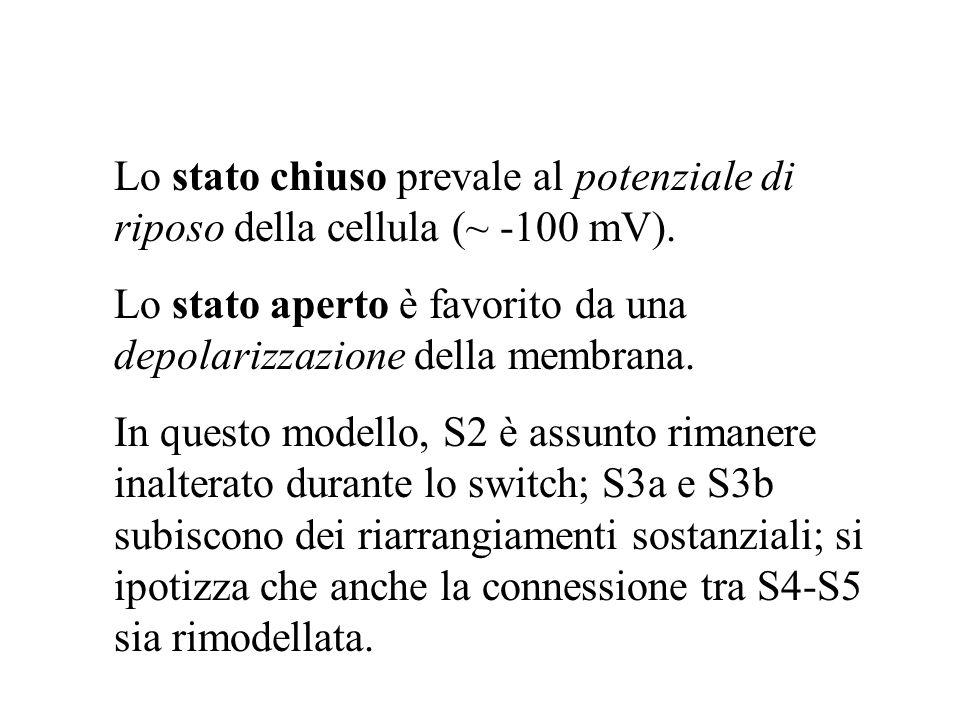 Lo stato chiuso prevale al potenziale di riposo della cellula (~ -100 mV).