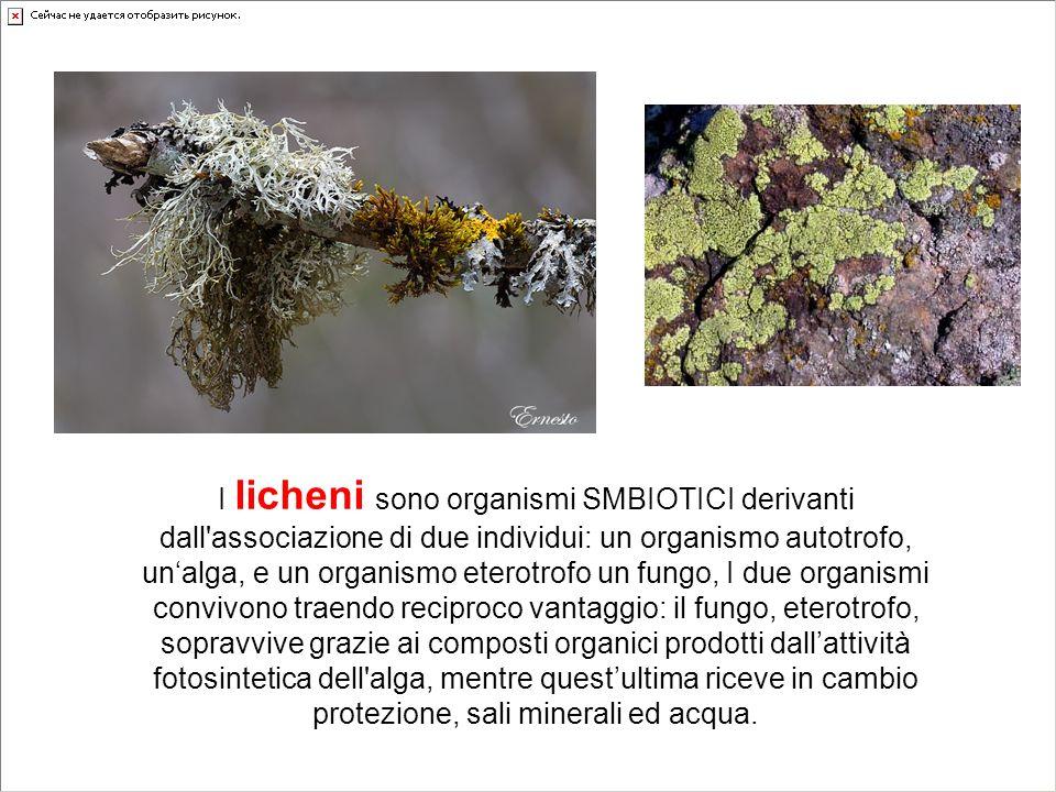I licheni sono organismi SMBIOTICI derivanti dall associazione di due individui: un organismo autotrofo, un'alga, e un organismo eterotrofo un fungo, I due organismi convivono traendo reciproco vantaggio: il fungo, eterotrofo, sopravvive grazie ai composti organici prodotti dall'attività fotosintetica dell alga, mentre quest'ultima riceve in cambio protezione, sali minerali ed acqua.
