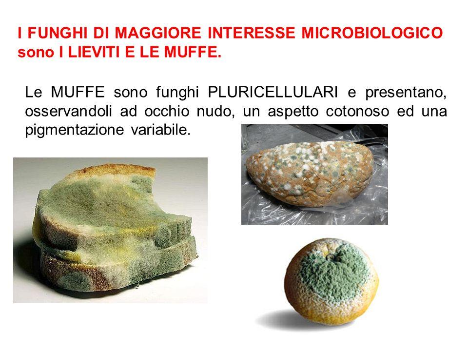 I FUNGHI DI MAGGIORE INTERESSE MICROBIOLOGICO sono I LIEVITI E LE MUFFE.