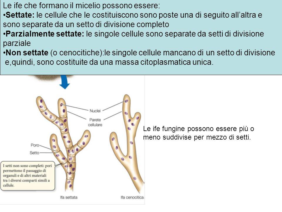 Le ife che formano il micelio possono essere: