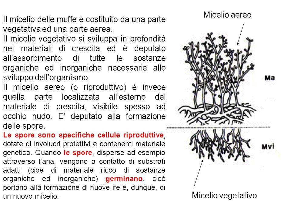 Micelio aereo Il micelio delle muffe è costituito da una parte vegetativa ed una parte aerea.