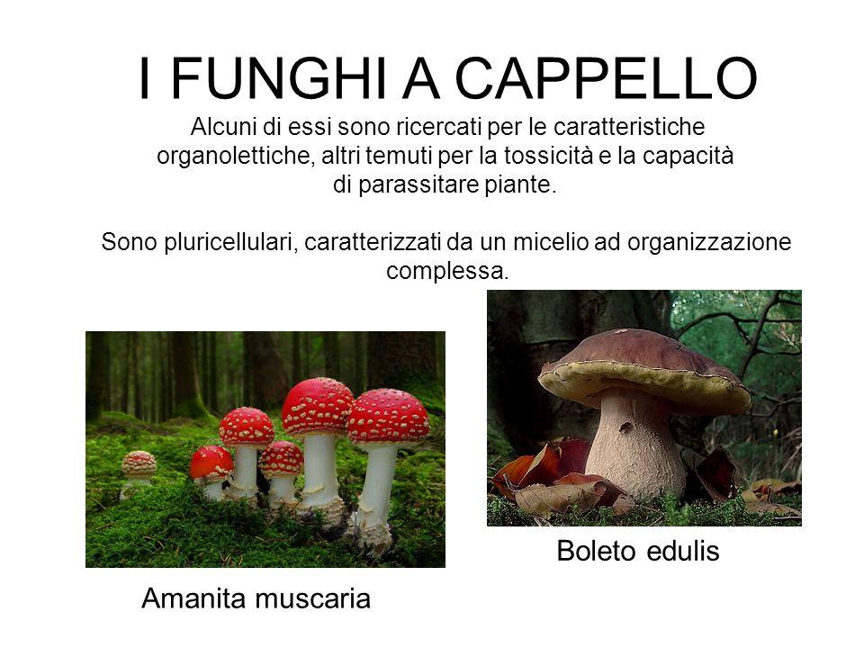 I FUNGHI A CAPPELLO Boleto edulis Amanita muscaria