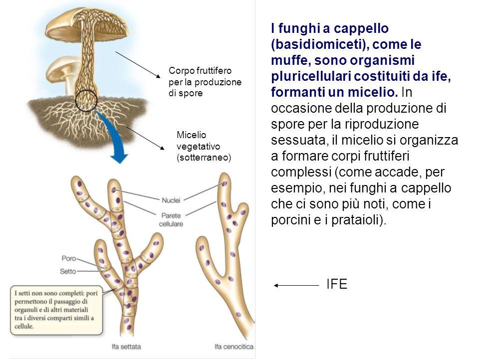 I funghi a cappello (basidiomiceti), come le muffe, sono organismi pluricellulari costituiti da ife, formanti un micelio. In occasione della produzione di spore per la riproduzione sessuata, il micelio si organizza a formare corpi fruttiferi complessi (come accade, per esempio, nei funghi a cappello che ci sono più noti, come i porcini e i prataioli).