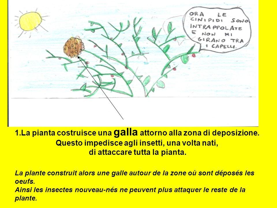 La pianta costruisce una galla attorno alla zona di deposizione.
