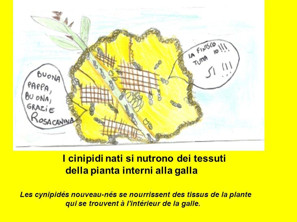 I cinipidi nati si nutrono dei tessuti della pianta interni alla galla