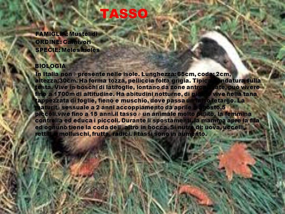 TASSO FAMIGLIA: Mustelidi ORDINE: Carnivori SPECIE: Meles meles