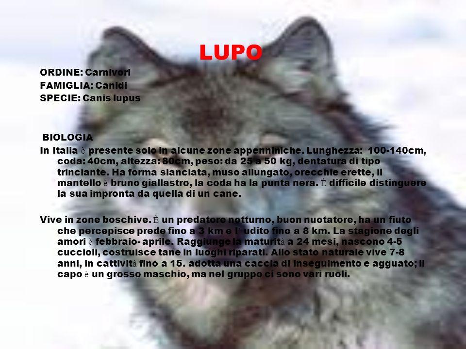 LUPO ORDINE: Carnivori FAMIGLIA: Canidi SPECIE: Canis lupus BIOLOGIA
