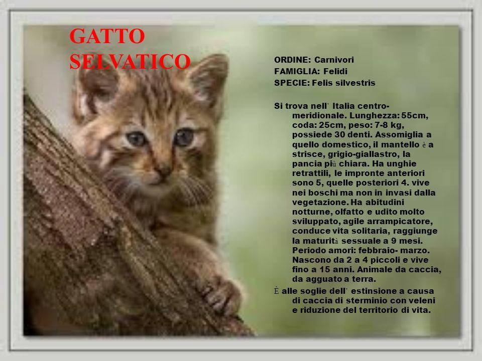 GATTO SELVATICO ORDINE: Carnivori FAMIGLIA: Felidi