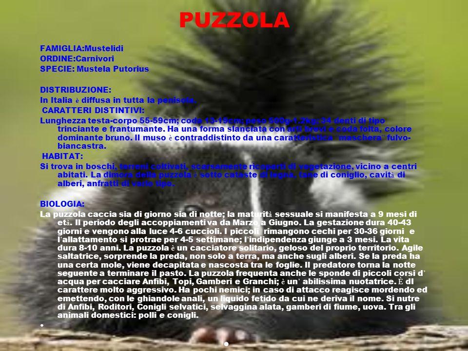 PUZZOLA FAMIGLIA:Mustelidi ORDINE:Carnivori SPECIE: Mustela Putorius