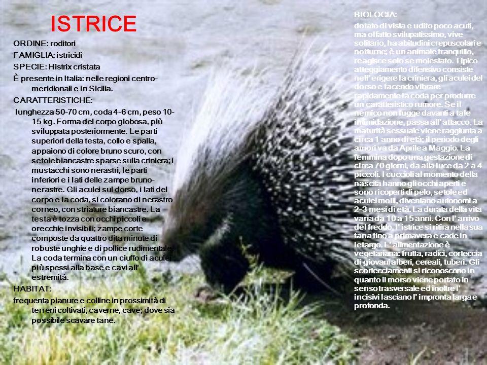 ISTRICE ORDINE: roditori. FAMIGLIA: istricidi. SPECIE: Histrix cristata. È presente in Italia: nelle regioni centro-meridionali e in Sicilia.