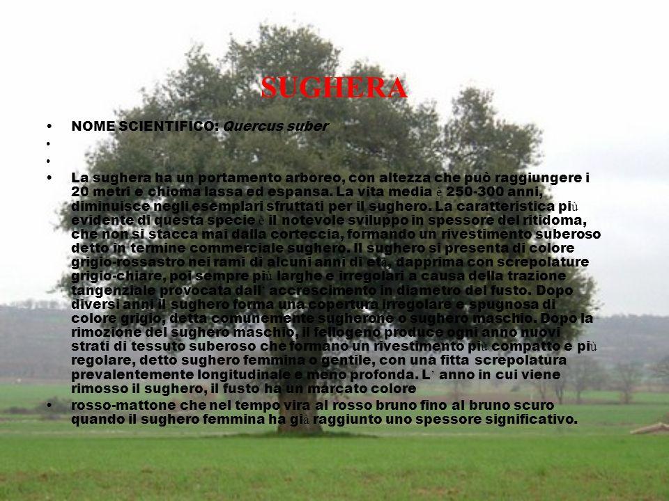 SUGHERA NOME SCIENTIFICO: Quercus suber