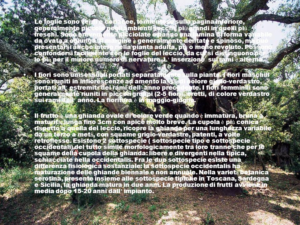 Le foglie sono verdi e coriacee, tormentose sulla pagina inferiore, generalmente piccole negli ambienti secchi, più grandi in quelli più freschi. Sono brevemente picciolate e hanno una lamina di forma variabile da ovata a oblunga. Il margine è generalmente dentato e spinoso, ma può presentarsi anche intero nella pianta adulta, più o meno revoluto. Possono confondersi facilmente con le foglie del leccio, da cui si distinguono per lo più per il minore numero di nervature. L' inserzione sui rami è alterna.